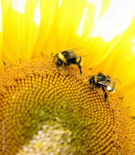 trzmiel siedzi na żółty kwiat. Zdjęcie makro