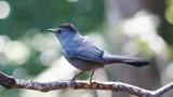 Gray Catbird Profile - 201611229