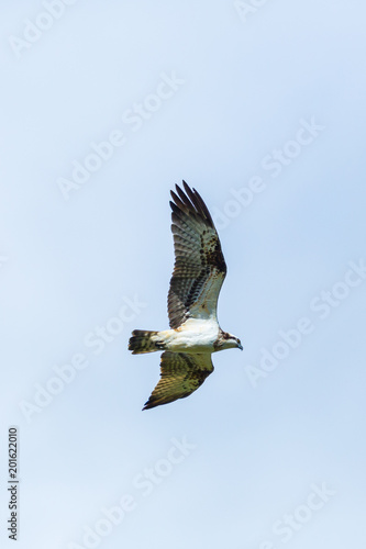 osprey bird (pandion haliaetus) flying with spread wings, light blue sky Poster