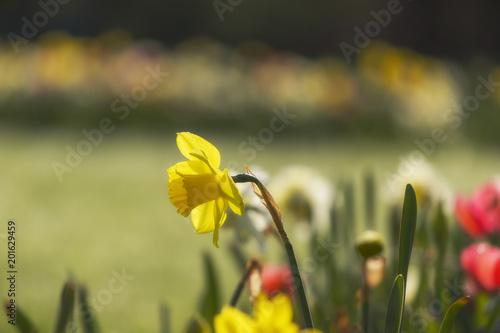 pojedynczy żółty żonkil w polu kwiatowym