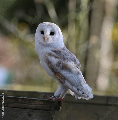 Portrait of a Barn Owl in woodland