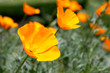 California Poppies in Poppy Field