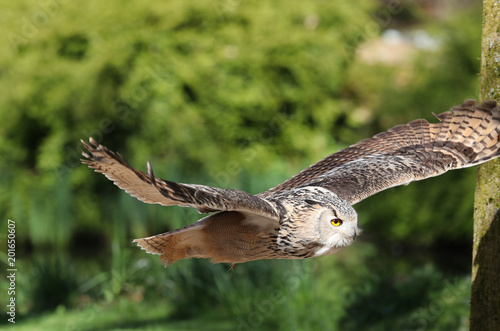 Close up of an Eagle Owl in flight through woods