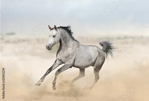 Popielaty arabski ogier w pustyni