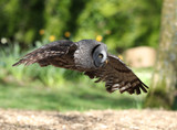 close up of a Great Grey Owl in flight through woodland - 201652878