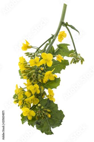 Fototapeta Rapeseed (colza) Brassica napus flowers isolated on white