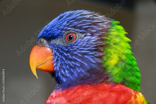 Aluminium Papegaai Closeup of Blue, Green, Red and Yellow Lorikeet in Profile in the Aviary at Butterfly World, Pompano Beach, Florida