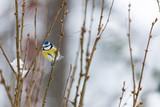 Blue tit bird sitting on small branch - 201664065