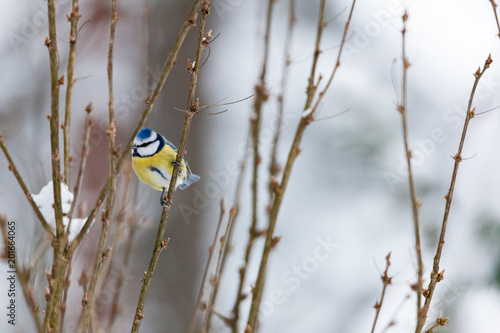 Blue tit bird sitting on small branch