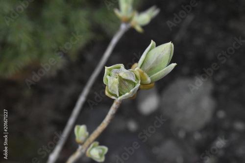 lilac bud on branch macro