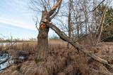 Dead dry tree on lakeside - 201674009