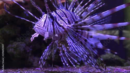 A Zebra-winged, or a Zebra-fish, or a striped winged (Pterois volitans) is a fish of the Scorpion family. Poisonous