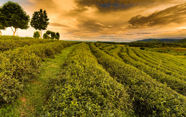 Green tea plantation over mountain slope with skyline background