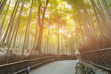 Walking way in Bamboo forest, Kyoto Japan natural landscape background