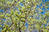 Weidenstrauch im Frühling