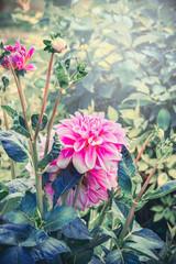 Pink Dahlia flowers in garden, summer outdoor nature