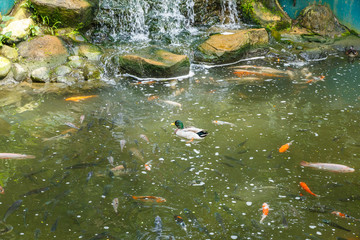 duck floating on a pond with fish near a waterfall