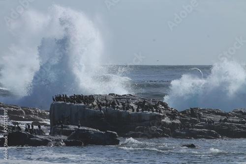Foto Murales Cormorants and sea lions violent sea