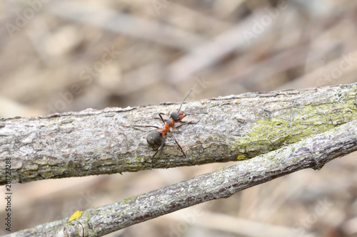 macro detail of  forest ant  moving small wood  for building up anthill - 201723288
