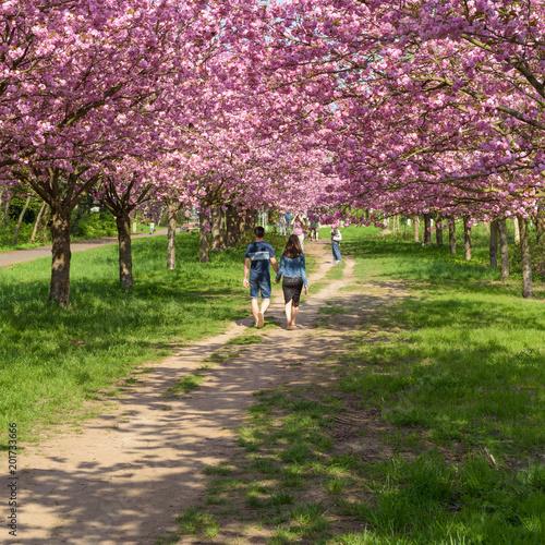 Foto Murales Menschen genießen Kirschblüte im Park