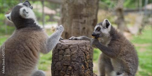 Foto Murales Lemur in the zoo. Lemur in the park.  Lemur eats at the zoo