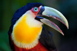 Big Toucan in tropical forest of Brazil, closeup portrait. - 201758474