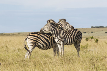 Zebras standing in dry grassland leaning on each other
