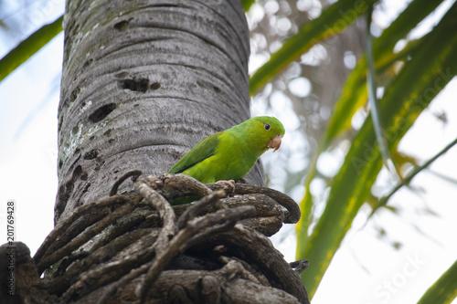 Maritaca bird on the coconut tree