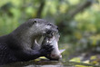 Постер, плакат: River otter with its lunch Eurasian common otter eats raw fish on a rock holding it with its hands side view closeup portrait with copy space