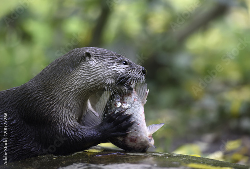 Foto Murales River otter with its lunch. Eurasian common otter eats raw fish on a rock holding it with its hands, side view closeup portrait with copy space