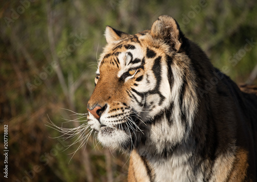 Profile headshot of a tiger in morning light