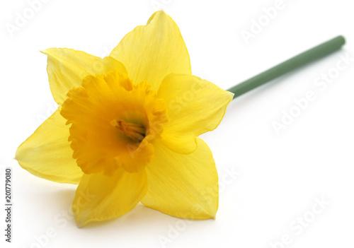 Kwiat żonkila