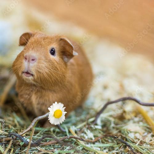 California Meerschweinchen schenkt Blume und wünscht