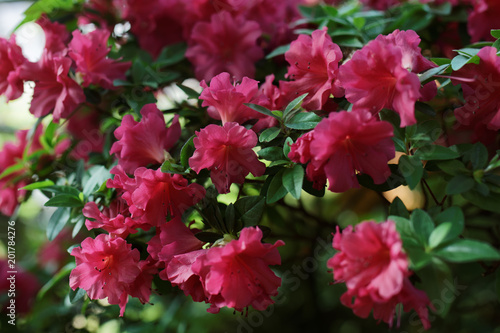 Plexiglas Azalea Flowers of azalea