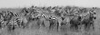 Herd of Zebra at the watering hole - 201785002
