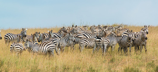Herd of Zebra at the watering hole