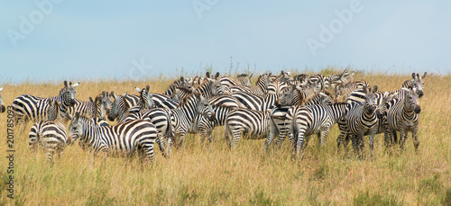 Herd of Zebra at the watering hole - 201785093