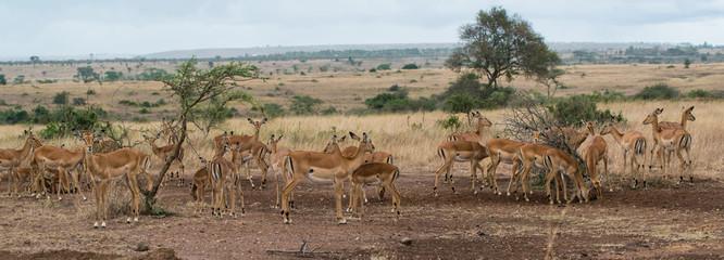 Herd of female Impala