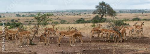 Foto Murales Herd of female Impala