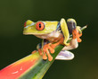Red-eyed Tree Frog perched on the spiky end of a bromiliad
