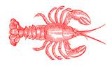 Czerwony barwiony homar (homarus) w odgórnym widoku. Ilustracja po zabytkowym lub zabytkowym drzeworycie z XVI wieku