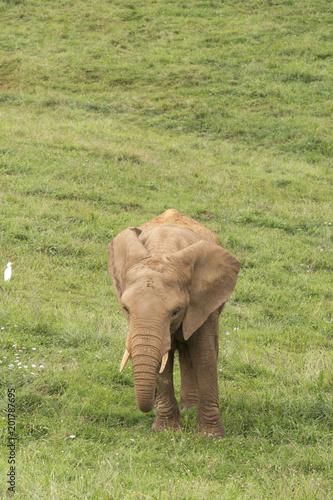 Foto Murales elephant in the meadow, followed by a bird