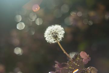 Glowing Dandelion Puff