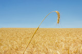 Wheat ear against of the wheat field and sky - 201816427