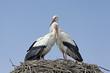 coppia di cicogne sul nido - 201817480