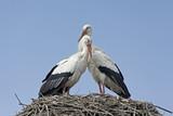 coppia di cicogne sul nido