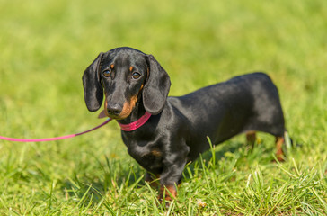 Dachshund dog in the park