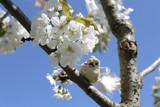 Kirschblüten und Vogel - 201835876