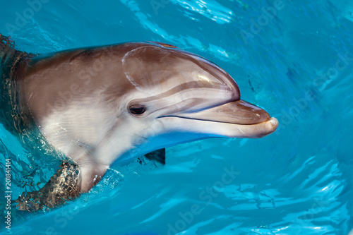 Fototapeta Dolphin portrait while looking at you with open mouth