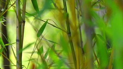 Bamboo forest. Growing bamboo in japanese garden swaying on wind. Slow motion, 4K UHD video 3840x2160 © Subbotina Anna